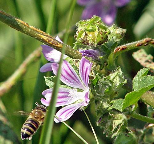 abeja en malva