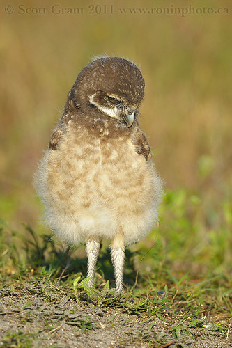 Burrowing Owlet by Scott Grant