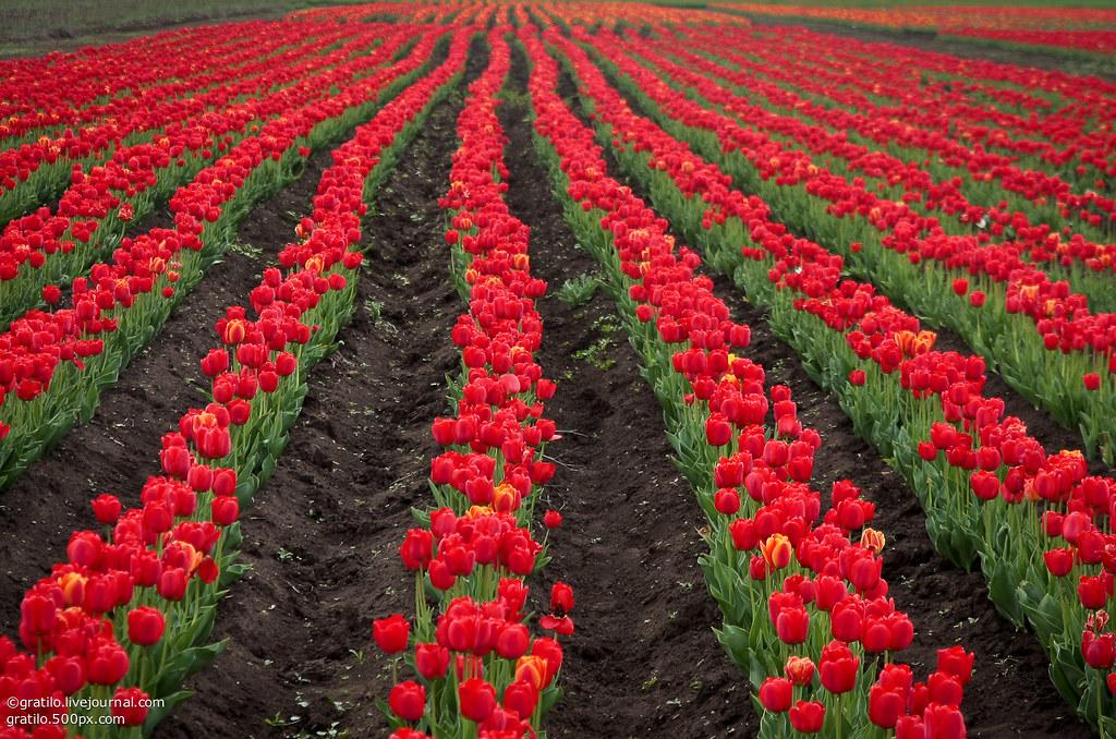 Цветов, селекционный институт купить цветы