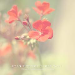 even memory fades away (aannda) Tags: light red blur flower soft sweet pastel dream memory fade dreamy lovely fadingmemories