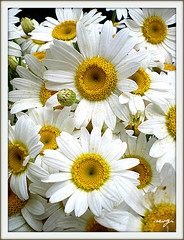 Happy Mother day... (sevgi_durmaz) Tags: flowers nature beauty nice gift daisy 1001nights forwomen masterphotos happymotherday mindigtopponalwaysontop lovelyflickr