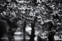 Sakura Roof (B&W Ver.) (Junnn) Tags: flowers blackandwhite bw canada vancouver bokeh 桜 cherryblossoms osanpo westend サクラ canonef135mmf2lusm 135mmf2 canoneos5dmarkii silverefexpro2