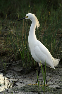 Snowy Egret; Core-white