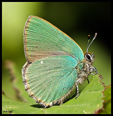 GREEN HAIRSTREAK  { EXPLORE } (Grasping-air) Tags: green butterfly hairstreak greenhairstreak specanimal