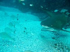 Grey Nurse Fish Rock Gutters (Jane | Shipwrecks and Sharks) Tags: diving southwestrocks greynurseshark fishrock canong11