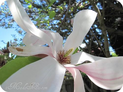 tulip magnolia unretouched