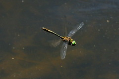 DSC05243 - Downy Emerald (steve R J) Tags: pond wake dragonfly british downy emerald odonata