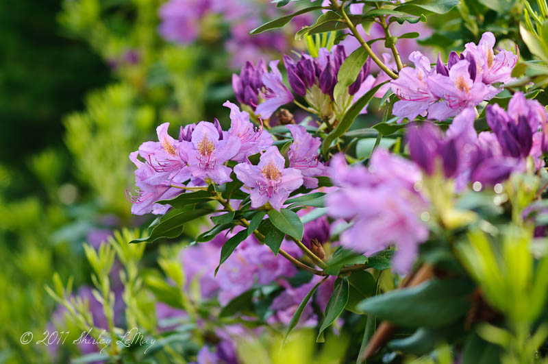 rhododendron Tradition