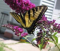 """Heeelp!"" (Leenechan) Tags: flowers butterfly butterflybush royalred spring2011"