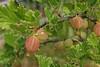 Stachelbeeren (20110605_01470)