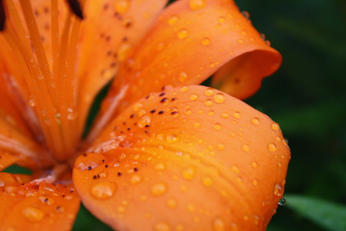 [172/365] Watered Flower by goaliej54