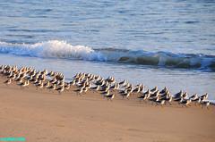 Pedestrians (mcshots) Tags: ocean california sunset sea usa sun beach nature water birds animals coast wildlife flock stock shoreline socal sands mcshots springtime seabirds shorebirds losangelescounty