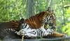 Playtime (tommyajohansson) Tags: london geotagged zoo tiger bigcat sumatrantiger predator tigre tiergarten londonzoo tigercubs faved tigercub djurpark raubtier zsl zoologicalsocietyoflondon sumatrantigercub sumatrantigercubs rovdjur tommyajohansson regent'spark
