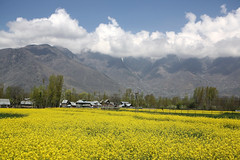 Mustard fields on the way to Sonmarg (Rupak Sarkar and Uma Sarkar) Tags: mustard kashmir himalayas roadtoladakh sonmarg efs1755