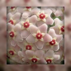Hoya carnosa variegata. Wax-plant (Linda DV) Tags: nationalbotanicgardenofbelgium meiseplantentuin flower asclepiadaceae belgium arboretum geotagged meise jardinbotanique plantentuin white whiteflower blanc wit blanco lindadevolder 2008 apocynaceae hoya ribbet