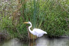 Real Life Art Deco (Moschell) Tags: 2016 art autumn egret flatforkcreekpark greategret handsome handheld in local moschell nature october wildlife birds