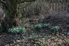 ckuchem-6379 (christine_kuchem) Tags: blumen frhblher frhling frhlingsgarten garten igel nachtquartier naturgarten naturschutz reisighaufen schneeglckchen tiere unterschlupf wildtiere winterschlaf naturnah ste