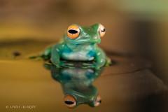 Look Into  My Eye! (Linda Martin Photography) Tags: dorset madagascangreentreefrog boophisluteus wildlife frogworkshop uk nature coth ngc coth5 npc