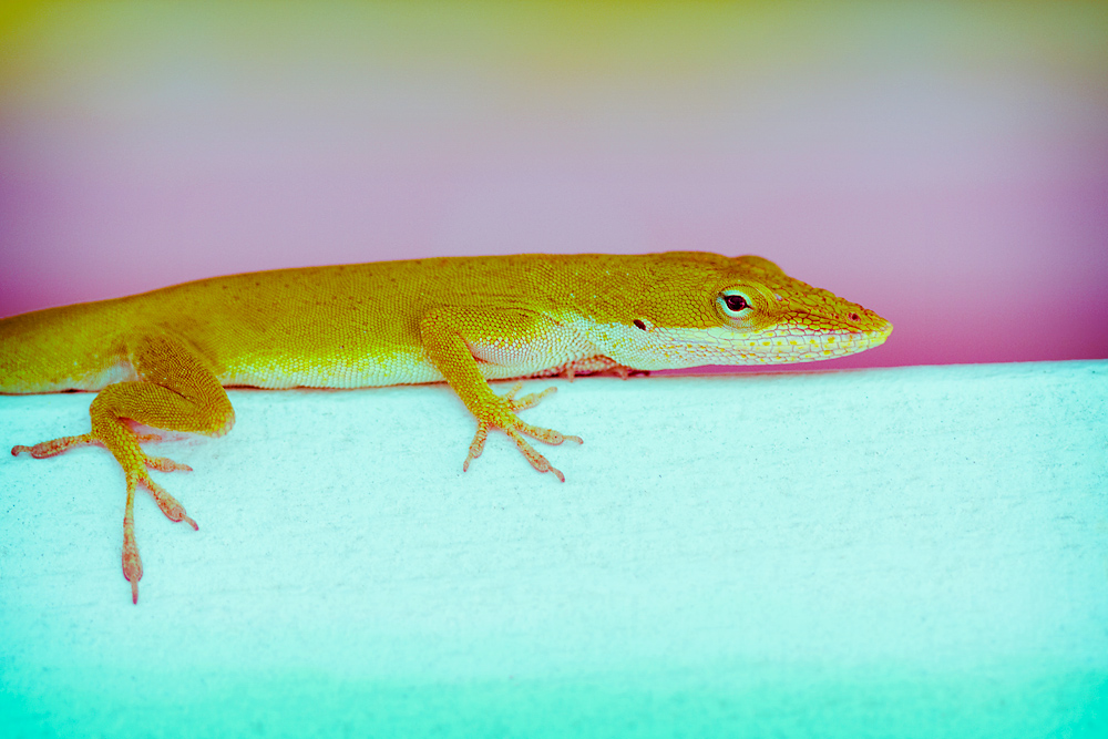 Cross Process 6/30:  Lizard