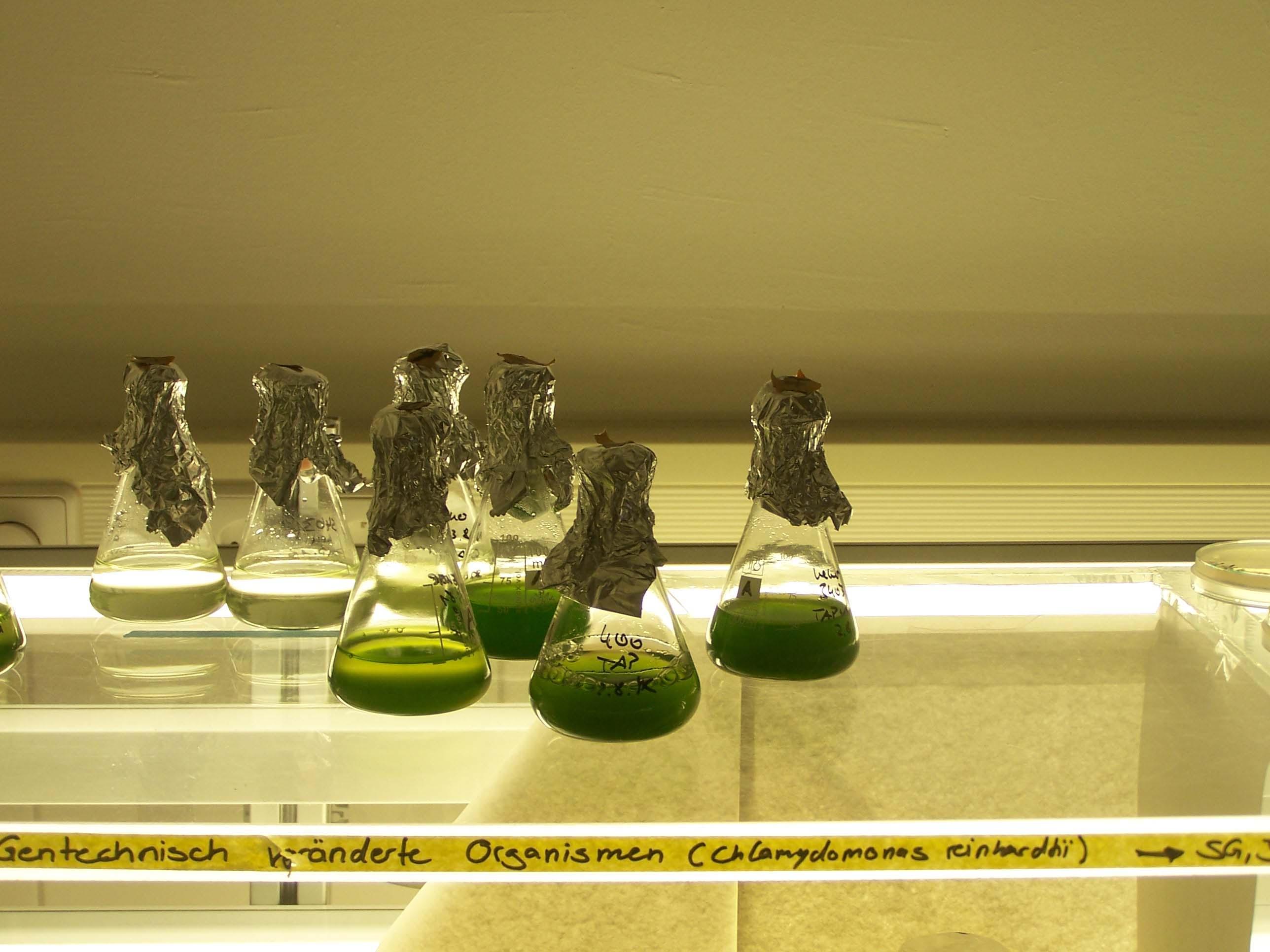 Chlamydomonas reinhadtii, gentechnisch veränderte Organismen