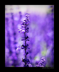 Days Without You #2 (e.nhan) Tags: flowers light flower art nature closeup landscape colorful colours dof purple arts violet lavender backlighting enhan