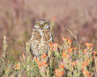 Burrowing Owl in Wildflowers