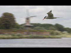 behind the watergate - a windmill and a tern (Wim Koopman) Tags: sky holland mill water netherlands windmill clouds hoop river de photography flying photo nikon stock nederland delta ramparts common dyke tern dike stockphoto waal stockphotography d90 estuarium visdiefje wpk