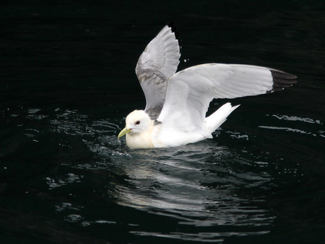 Black-legged Kittiwake 20110625