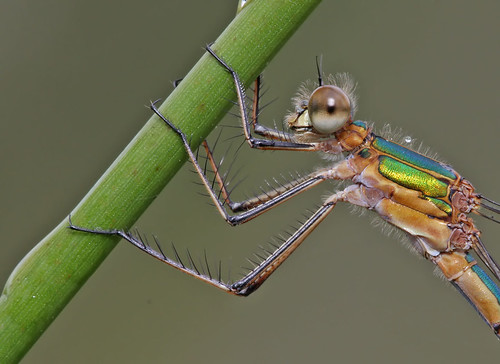 Female Emerald damselfly - Lestes sponsa
