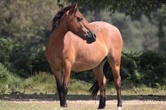 stance (romorga) Tags: wild horse nature animal canon nationalpark pony newforest equine equus thenewforest romorga romorgan