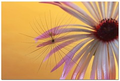 Captivating Beauty.. (A.J.Pendleton-Lightbox 2008 (On and Off)) Tags: flowers flower macro nature closeup canon seed upclose canon40d blinkagain bestofblinkwinners da{pagroup blinksuperstars blinkagainsupestar