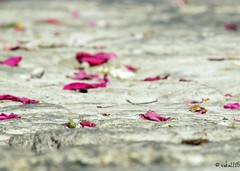Do not watch the petals fall from the rose with sadness, know that like life, things sometimes must fade, before they can bloom again (ewka2205) Tags: flower petals kwiatki bruk patki cobblestonealley ewka2205