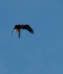 Dinner to go (kimpjohnston) Tags: fish bird nature eagle wildlife sony birding flight swamp