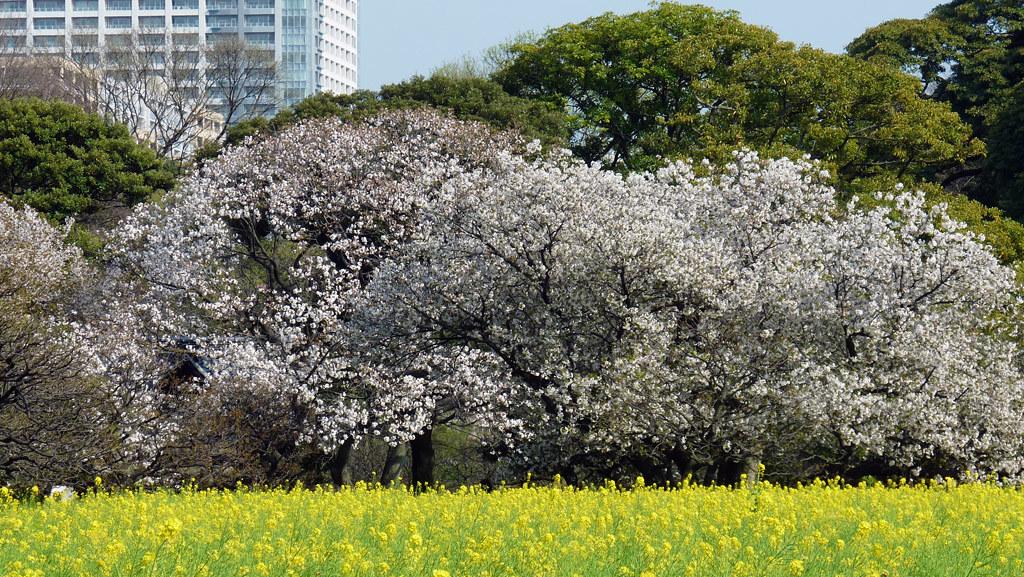 sakura hama-rikyu