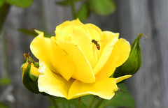 Yellow Rose And A Visitor (Michael D. Shepard) Tags: flowers roses yellow bug insect spring texas