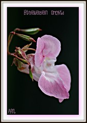 Himalayan Orchid On Black (bigbrowneyez) Tags: pink orchid flower nature blossom framed pop bloom lovely seedpods delicate mygarden dainty delightful arealbeauty himalayanorchid himalayanorchidonblack