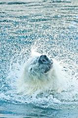 Louisville Zoo (slapshots) Tags: bear animals zoo nikon kentucky bigma louisville polar d90 nikond90 sigma50500os