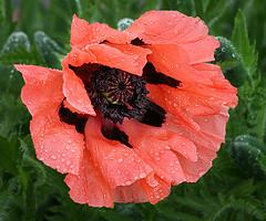 Rainy Oriental Poppy (janruss) Tags: flower floral poppy raindrops orientalpoppy excellence janruss janinerussell hennysgardens