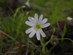 White flower. Any ideas as to its name? (rawdonfox) Tags: wild england white flower pasture harrogate whitewildflower