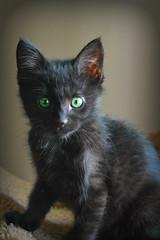 I'm Getting Bigger! (Luv Duck - Thanks for 15M Views!) Tags: pets cat feline kitty greeneyes furball kitton ipiccy