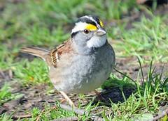 White Throated Sparrow (stroonz) Tags: cambridge white cemetery mt path massachusetts indian auburn ridge sparrow throated mtauburnmay2014