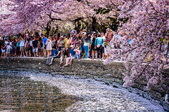 The Last Snowfall Of The Season (mrperry) Tags: people washingtondc dc spring districtofcolumbia wind blossoms windy tourists cherryblossoms pedals visitors spectators crowds springtime cherrytrees tidalbasin pedalsfalling
