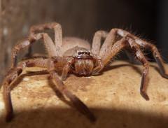 Sparassidae Huntsman spider DSCF1111 (Bill & Mark Bell) Tags: exmouth westernaustralia australia geo:town=exmouth geo:state=westernaustralia geo:country=australia geo:lon=11425453egeolat2217752sgeoalt8m 11425453e2217752salt8m taxonomy:kingdom=animalia animalia taxonomy:phylum=arthropoda arthropoda taxonomy:class=arachnida arachnida taxonomy:order=araneae araneae taxonomy:superfamily=sparassoidea sparassoidea taxonomy:family=sparassidae sparassidae taxonomycommonnamehuntsmanspider huntsmanspider spider animal fauna