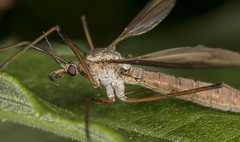 Crane fly (sspike@rogers.com) Tags: crane fly large macro mpe65 steverossi canon