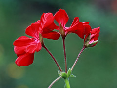 Red Flowers Macro (hbickel) Tags: red flowers flower macro macrolens canont6i canon photoaday pad
