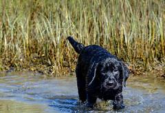 miles_g (bmullaney1) Tags: black labrador dog retriever lab