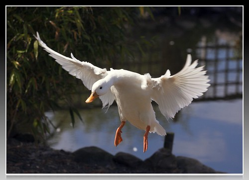 One Of Our Call Ducks In Flight