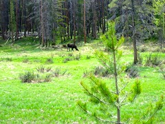 Mama Moose and Babies in Rocky Mountain National Park