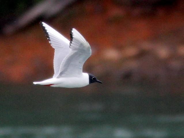 Bonaparte's Gull 3-20110621