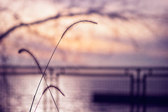 Sunrise, sunrise ... looks like mornin' in your eyes (pixelmama) Tags: grass sunrise bokeh lakemichigan hff evanstonillinois chasinglight grosspointlighthousepark fencefriday